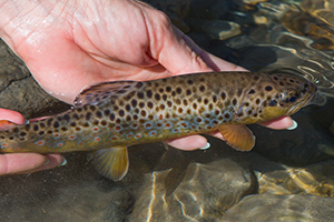 Engadin mountain trout
